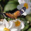 シュウメイギク、咲き乱れて 2017年10月