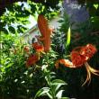 コリウスの花穂を摘む