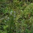軽井沢のいろいろ 軽井沢の希少な野草