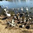 茨城県水戸市大塚池公園2019年の新春・・水鳥