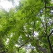 樹木ウォッチング冬から夏へ255サカチ1
