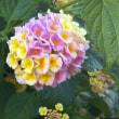 5.22江の島の花々