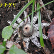ウシハコベ咲く芋谷