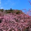 『高麗山麓』 五分咲き