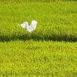 キャンパス猫白鷺
