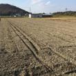 デュラム小麦出芽