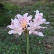 ピンクのリコリスと白のハイビスカス
