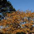 晩秋の河津桜