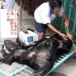 中国政府よ、熊の生き血を吸うのを止めさせて!(写真付)