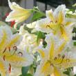 7月の庭・・・ヤマユリ・・・満開
