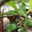 雨宿りのゴマダラチョウ