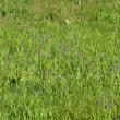 高天ヶ原湿原 ヒオウギアヤメが満開