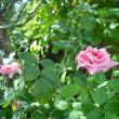 木陰です バラのケアフリーワンダー