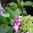 わが家の紫陽花&イギリス湖水地方写真集