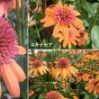 エキナセアの花は