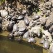 成田山川越別院の池に住む亀にギョッ。