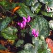 野生のシクラメンの花