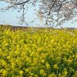 真岡線の花見