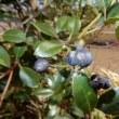 シャリンバイの実とナミテントウ