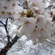 桜が満開に…