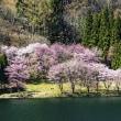 「日本で最も美しい村」連合、信州高山村、白馬村周辺の垂れ桜(長野県)■2018_4_14~21