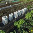 第2弾の茄子の植え付け