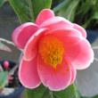 ハイドゥンツバキ (海棠椿) の花散歩