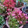 八重咲きベゴニア・ダブレット