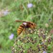 スズメバチとの相性