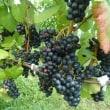 お天気に恵まれた≪ワイン祭り≫