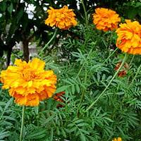 黄花(きばな)コスモスという花