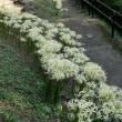 白い彼岸花♪