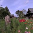 秋桜の咲く寺