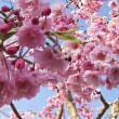 今朝は、しだれ桜