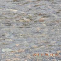 五十嵐川に鮭が遡上