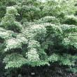 樹木ウォッチング冬から夏へ321ヤマボウシ1