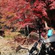 四季桜を見てきました。