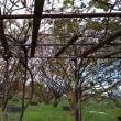 キウイの葉が落ちて来ました