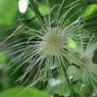 ヒスイカズラ・サガリバナなど熱帯の花