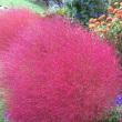 多摩川のコキアも色付いて