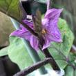 キュウリとナスの花