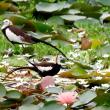 2羽のレンカク