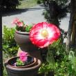 待ってました。ヒナゲシの花