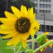 街角の向日葵