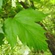 高ボッチ高原・鉢伏山で最近咲いている花 カンボク(肝木)