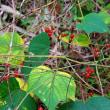 晩秋の赤い草の実