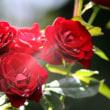 バラの花に心トキメク!