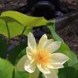 蓮が咲き始めていました:萬福寺