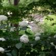北公園のアナベルが圧巻〜6月14日撮影8枚