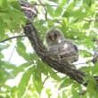 枝の上で少し移動する、フクロウの幼鳥。